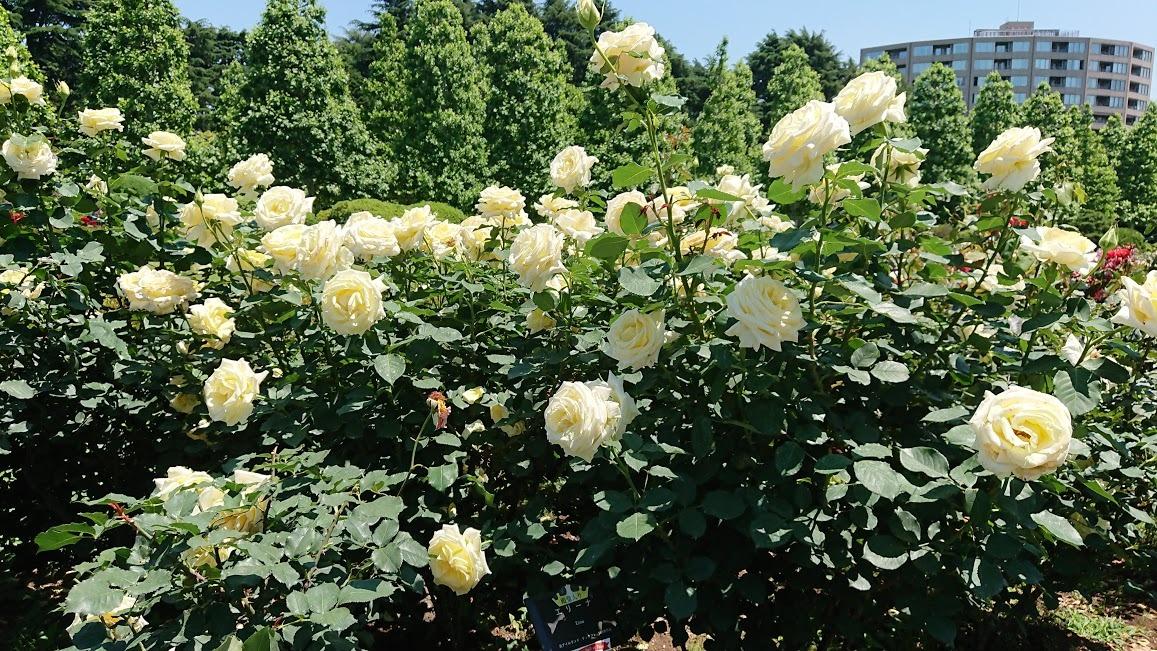 殿堂入りのバラ パスカリ