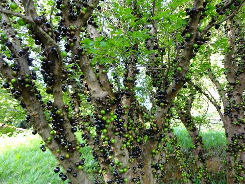 ジャボチカバの木