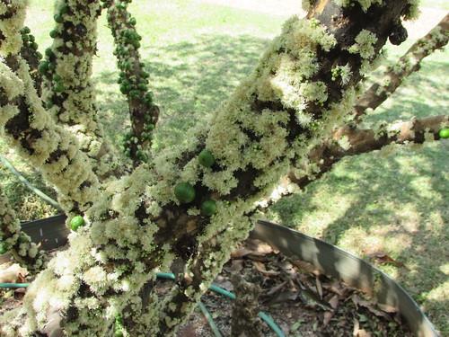 ジャボチカバの花