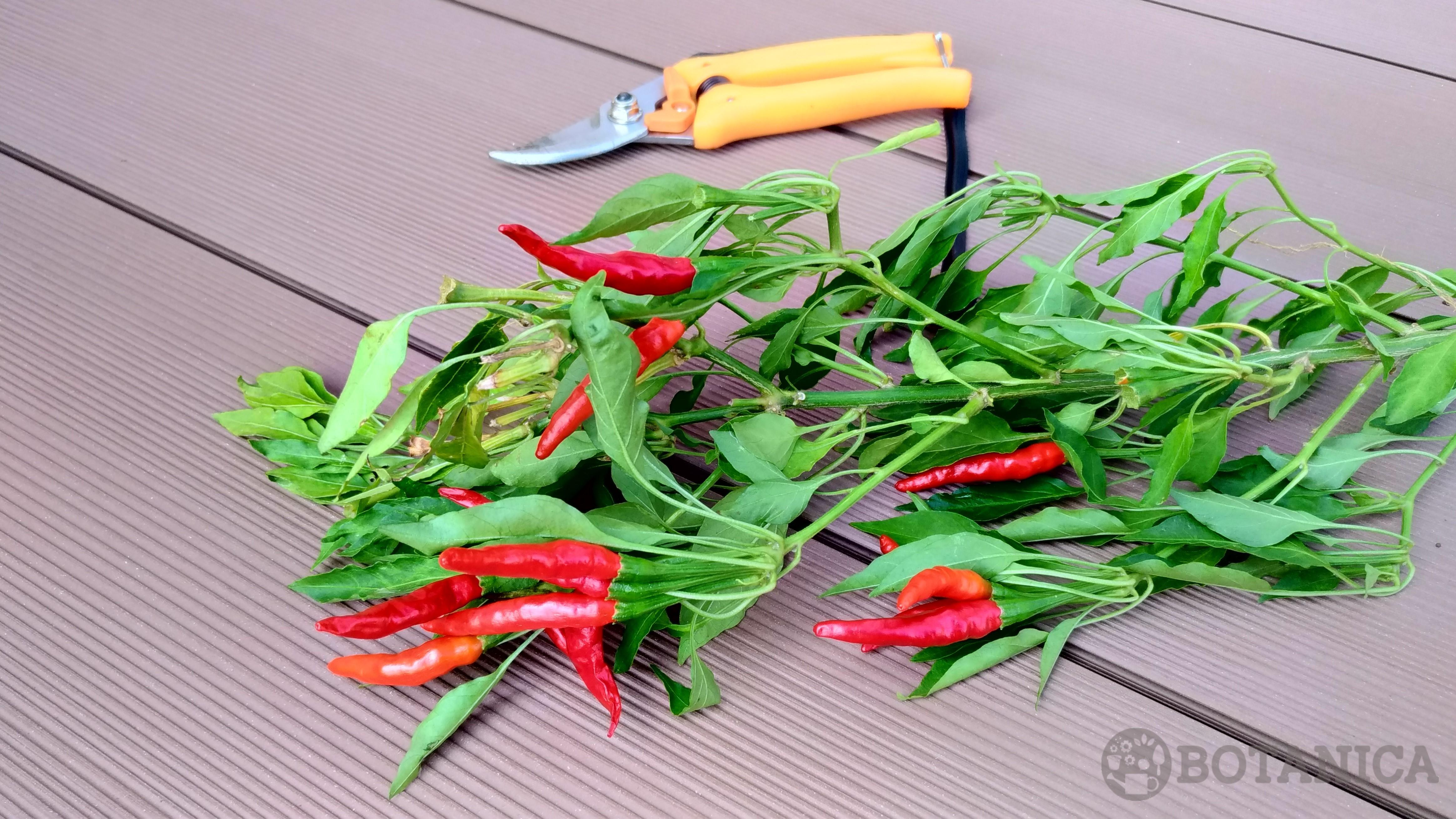 赤唐辛子の収穫