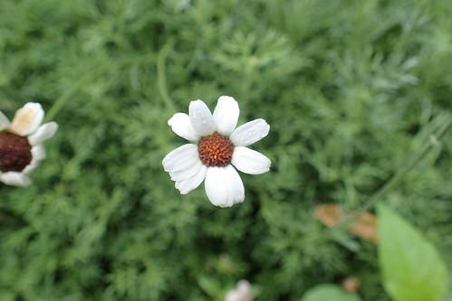 ローダンセマムの花言葉