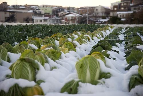 白菜畑の画像
