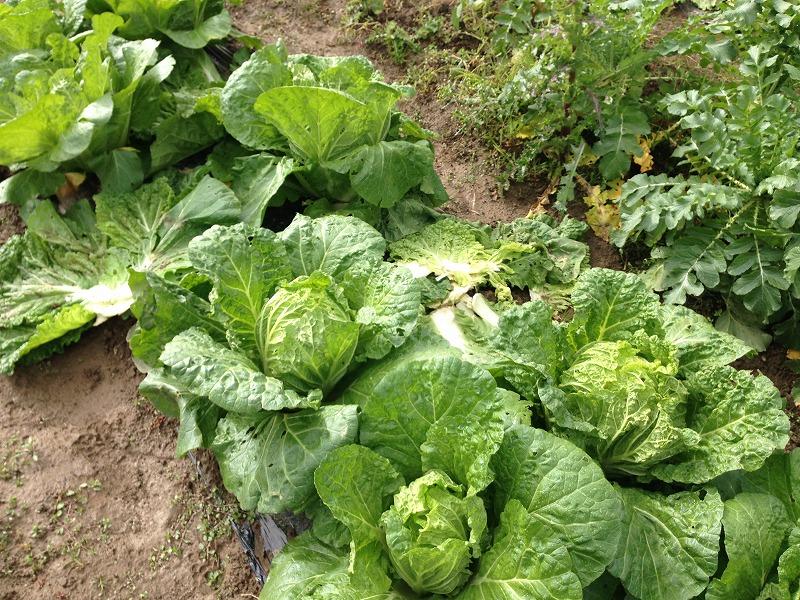 白菜栽培の画像