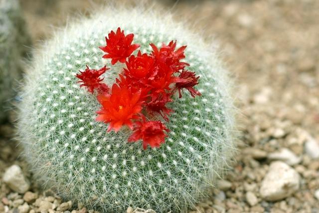 花が咲きやすいサボテンの品種は?それぞれの特徴や育て方のコツを紹介!