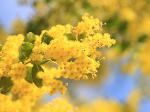 アカシアとは?その種類や花言葉・開花時期を紹介!ミモザとの違いは?