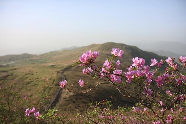 アカヤシオとは?樹木としての特徴や仲間を紹介!開花時期や名所は?