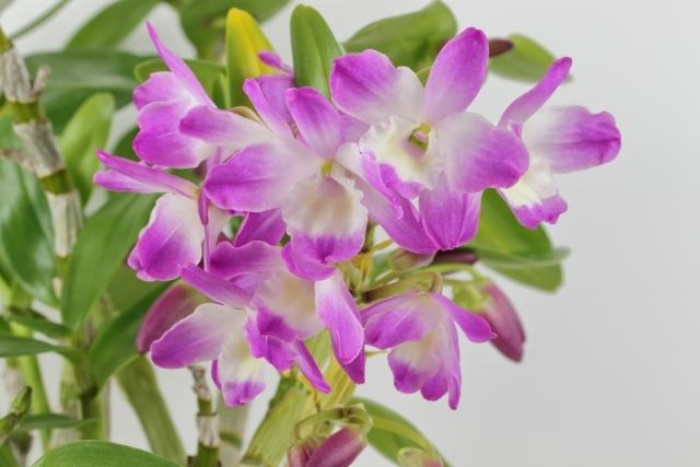 デンドロビュームの育て方!植付けから花が終わった後の管理まで徹底紹介!