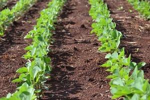 大豆の栽培方法!適正な播種時期や施肥量を理解して多収を目指そう!