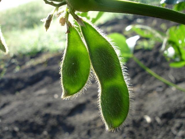 大豆の家庭栽培!プランターで育てる時の種まきや施肥のコツをご紹介!