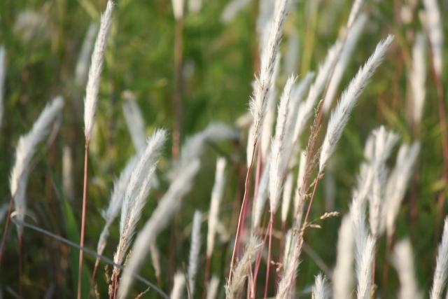 チガヤとは?その生態と駆除方法を紹介!難防除雑草に有効な除草剤は?