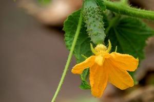 キュウリの花とは?雄花と雌花の見分け方や、花を使ったレシピまで紹介!