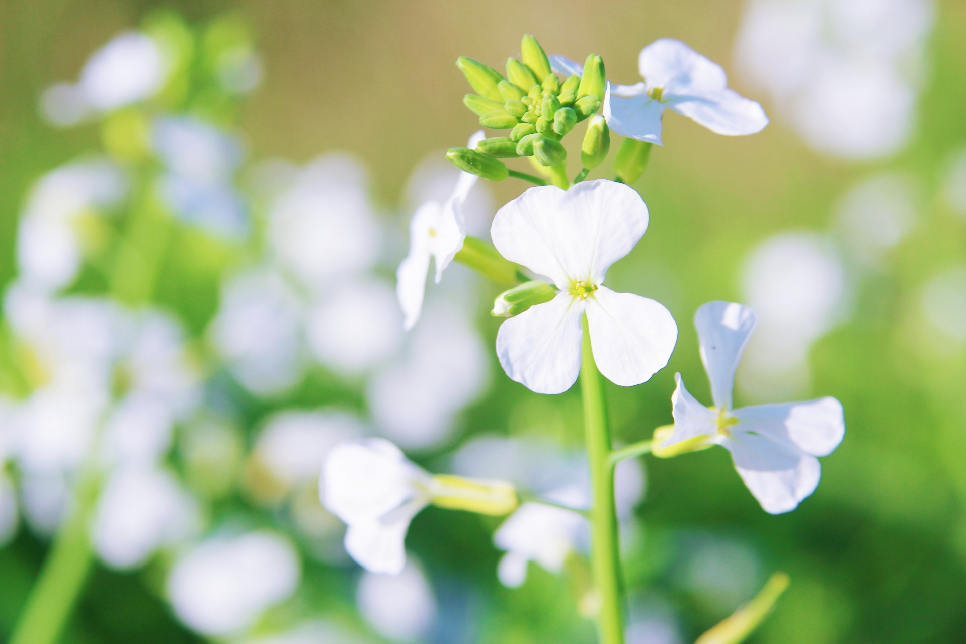 大根の花とは?その特徴や花言葉・開花時期をご紹介!食べられる?