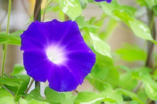 アサガオの開花時期や見頃の季節は?色や種類によって時期は異なるの?
