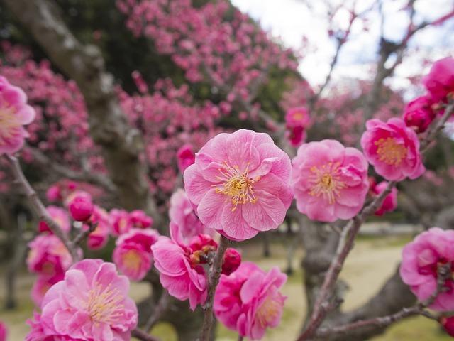 梅の開花時期や見頃の季節はいつ?開花の地域差や人気スポットまで解説!