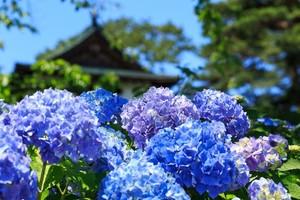 梅雨の花3選!特徴と花言葉は?雨風に強い花・弱い花も併せてご紹介!