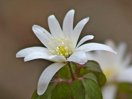 アズマイチゲとは?春の草花といわれる野草の特徴や育て方をご紹介!