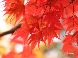イロハカエデとは?美しく紅葉する落葉樹の特徴を紹介!自宅で育てられる?