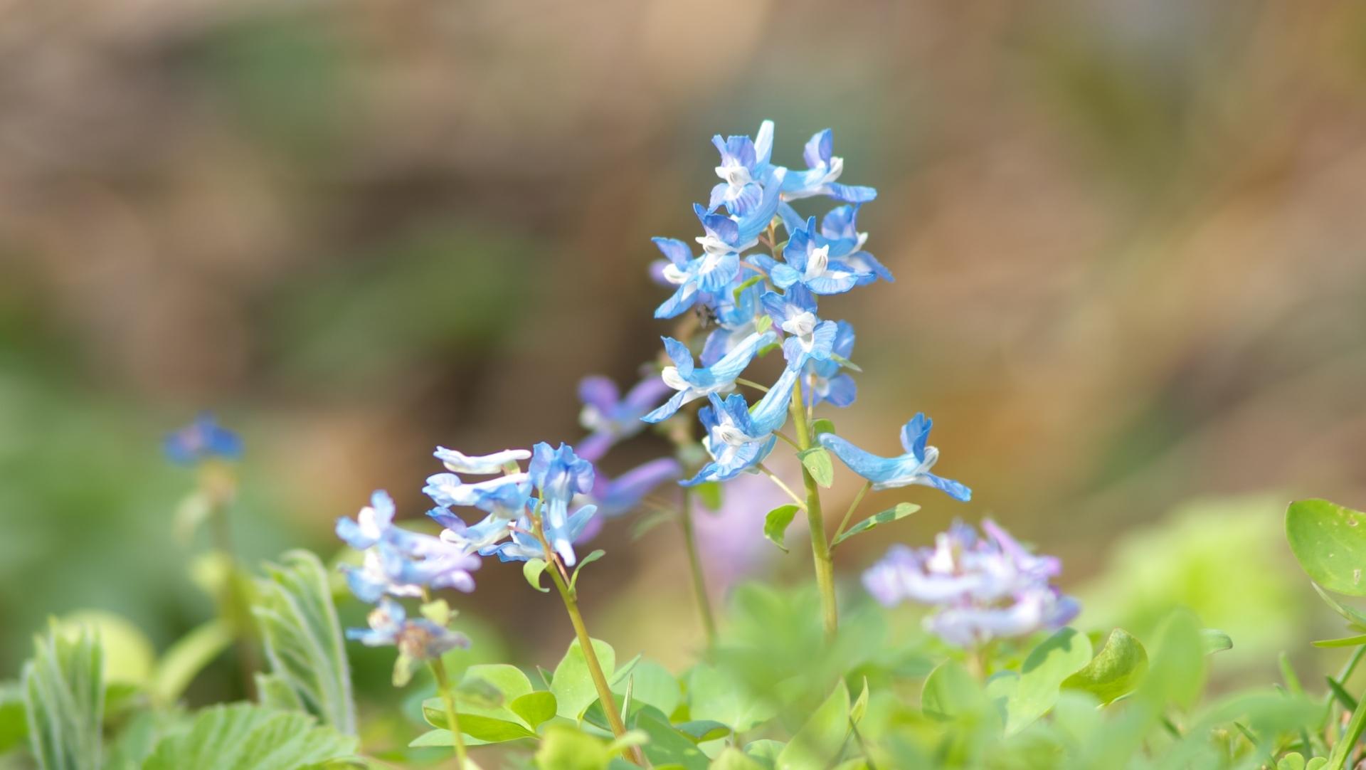 エゾエンゴサクとは?北海道に咲く花の特徴や育て方を紹介!食べられる?
