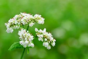 そばの花とは?その開花時期や花言葉をご紹介!赤い花が咲く品種もある?