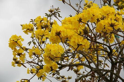 イペーとは?ブラジルの国花で、黄色い桜とも呼ばれる花の育て方を紹介!