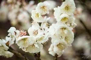 春に咲く白い花木12選!3月〜5月が旬な植物の名前や特徴をご紹介!