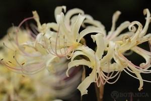 白い彼岸花って珍しい?花の色が白い理由と花言葉について詳しく紹介!