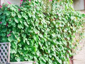 緑のカーテンの上手な作り方!夏に向けて初心者でも簡単にできる方法は?