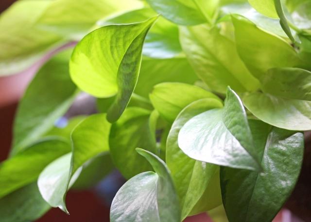 空気の清浄効果がある観葉植物5選!人気のサンスベリアなど詳しく紹介!