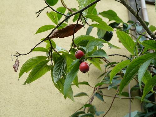 カマツカ (鎌柄)とは?庭木として人気な樹木の特徴や育て方をご紹介!