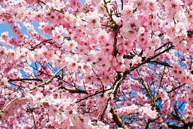 桜を挿し木で増やす方法!適切な時期・方法を知り成功率を上げよう!