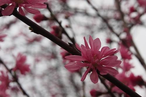 菊桃とは?その特徴や花言葉・育て方をご紹介!剪定や挿し木のコツは?