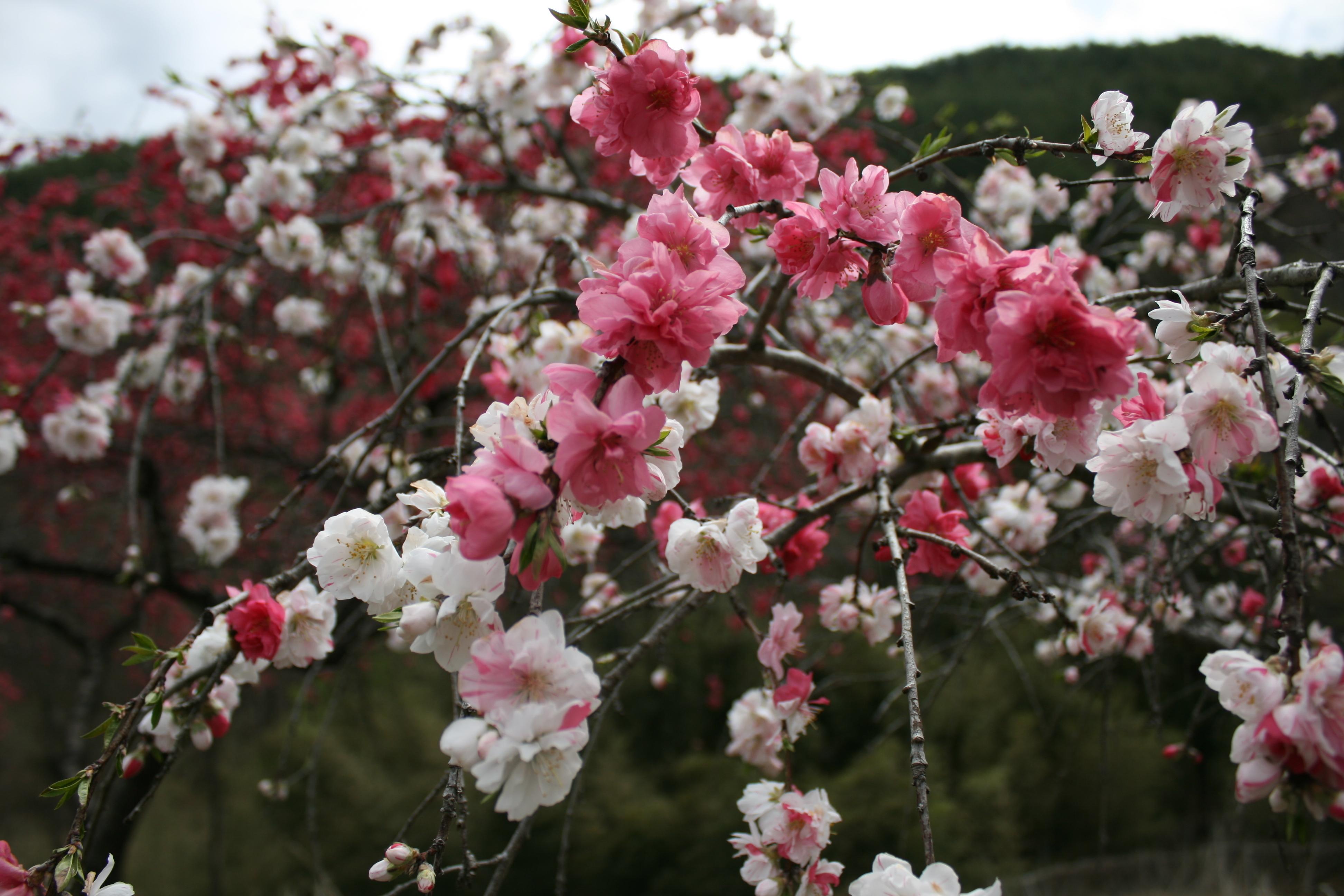 源平桃とは?見頃の季節や観光名所をご紹介!鉢植えでも育てられる?