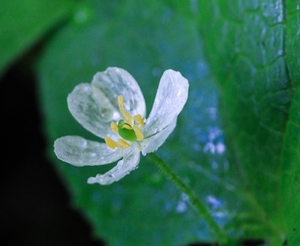 サンカヨウとは?花言葉や雨で透明になる理由を紹介!見頃時期はいつ?