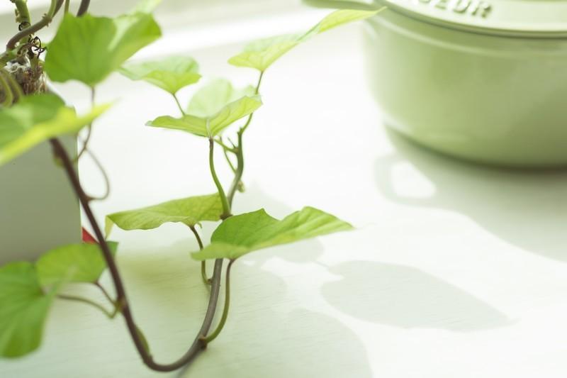 ディスキディアの育て方!ハートの葉を枯らさないための上手な管理方法とは?
