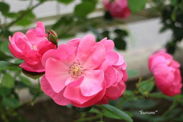 アンジェラの育て方!つるバラとして知られる品種の剪定方法や仕立て方をご紹介!