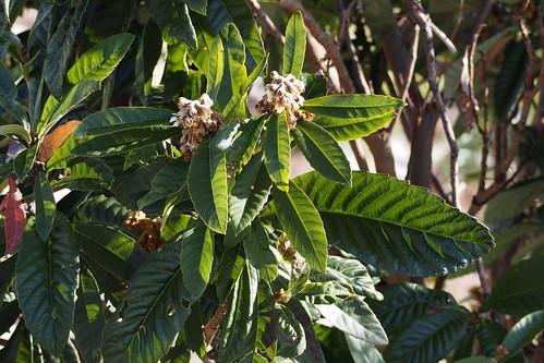 ビワの木とは?特徴や育て方を紹介!縁起が悪いとの言い伝えはホント?