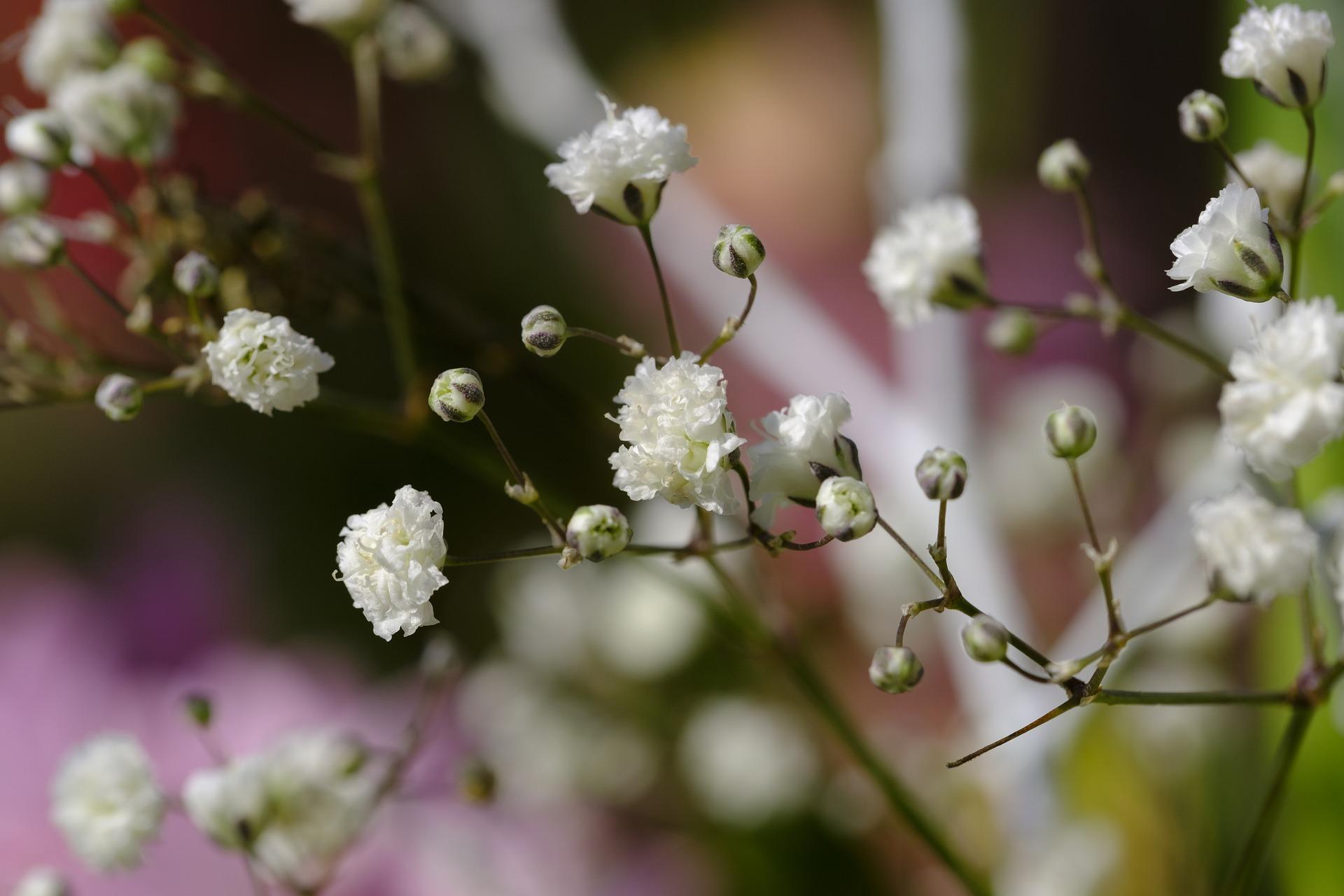 かすみ草(カスミソウ)の花言葉は?種類や色別にそれぞれ詳しくご紹介!