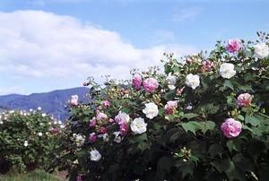 スイフヨウとは?その種類や花言葉をご紹介!花の色が変化する理由は?