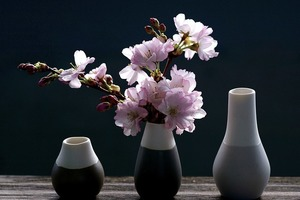 桜を鉢植えで育てる方法とは?おすすめの品種と管理のコツをご紹介!