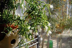 リプサリスの育て方!季節ごとの管理方法と上手な増やし方をご紹介!