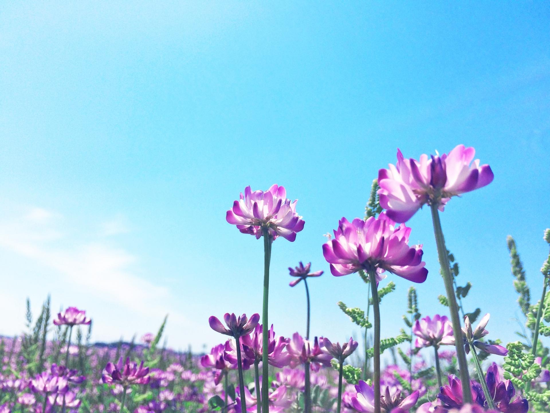 蓮華の花とは?その特徴や花言葉を紹介!開花時期や見頃の季節はいつ?