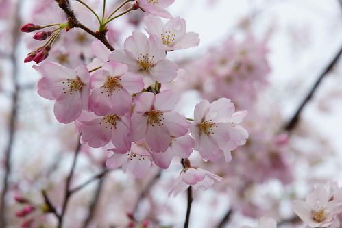ジンダイアケボノとは?ソメイヨシノの後継種とされる桜の概要をご紹介!