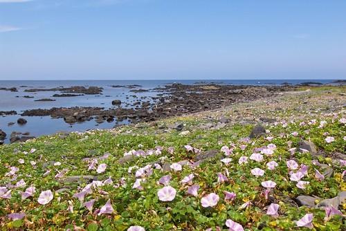 ハマヒルガオ(浜昼顔)とは?浜辺に群生する花の特徴や花言葉をご紹介!