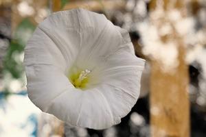 昼顔とは?色別の花言葉や育て方をご紹介!朝顔・夕顔との違いは何?
