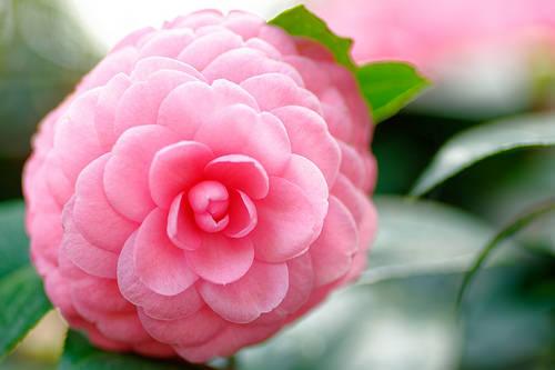 カメリアとは?シャネルのマークにも採用された花の特徴や花言葉を紹介!