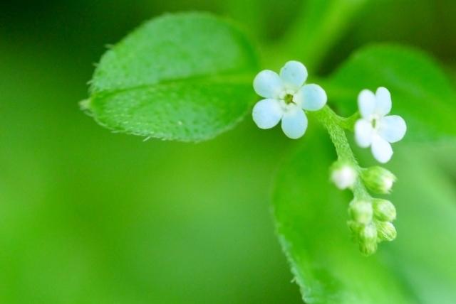 キュウリグサとは?その特徴や花言葉をご紹介!勿忘草との違いは?