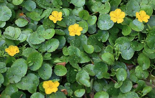 アサザとは?浮葉植物と呼ばれる水草の生育環境や越冬方法などを紹介!