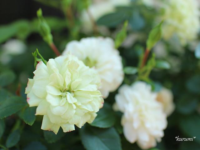 グリーンアイスの育て方!切り戻しを工夫して、年中バラを咲かせよう!