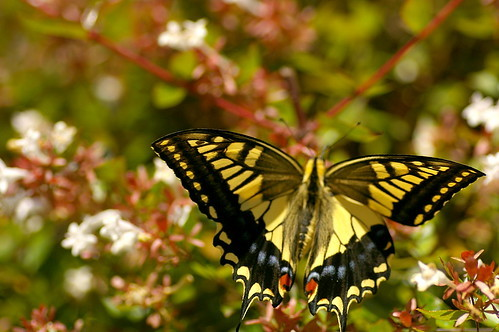 キアゲハの幼虫とは?生態や飼育方法から、菜園での防除方法までご紹介!
