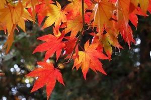 もみじの種類一覧!紅葉の季節に向けて、人気品種の見分け方を知ろう!